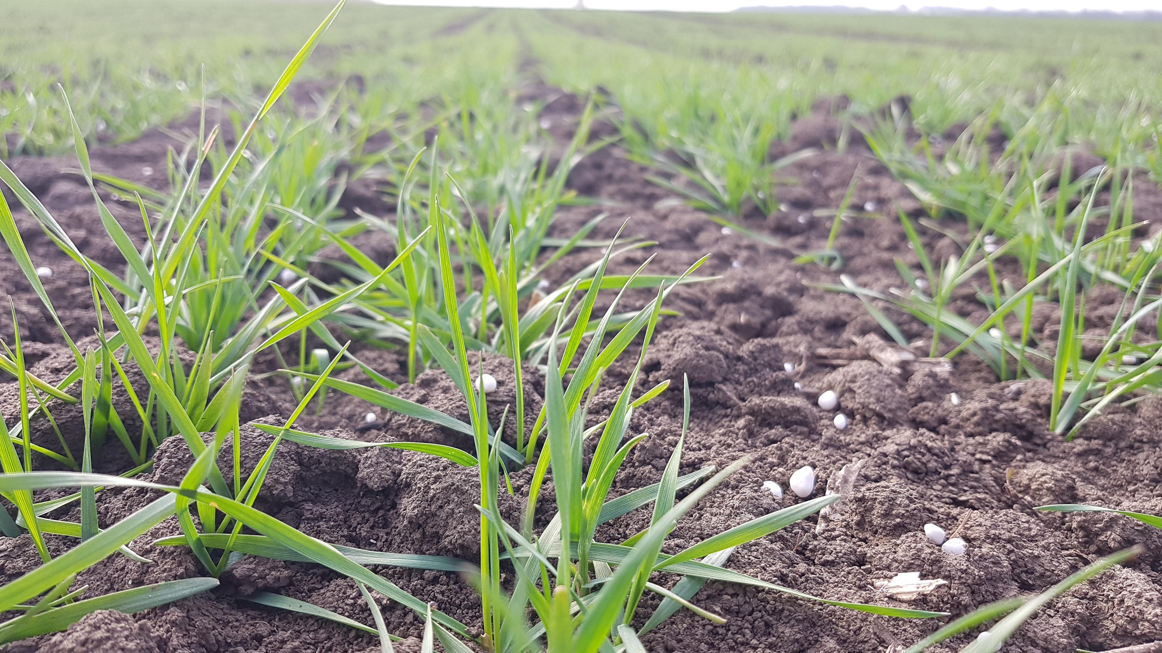Vysoká úroda pšenice s NPK na začiatku vegetácie! image