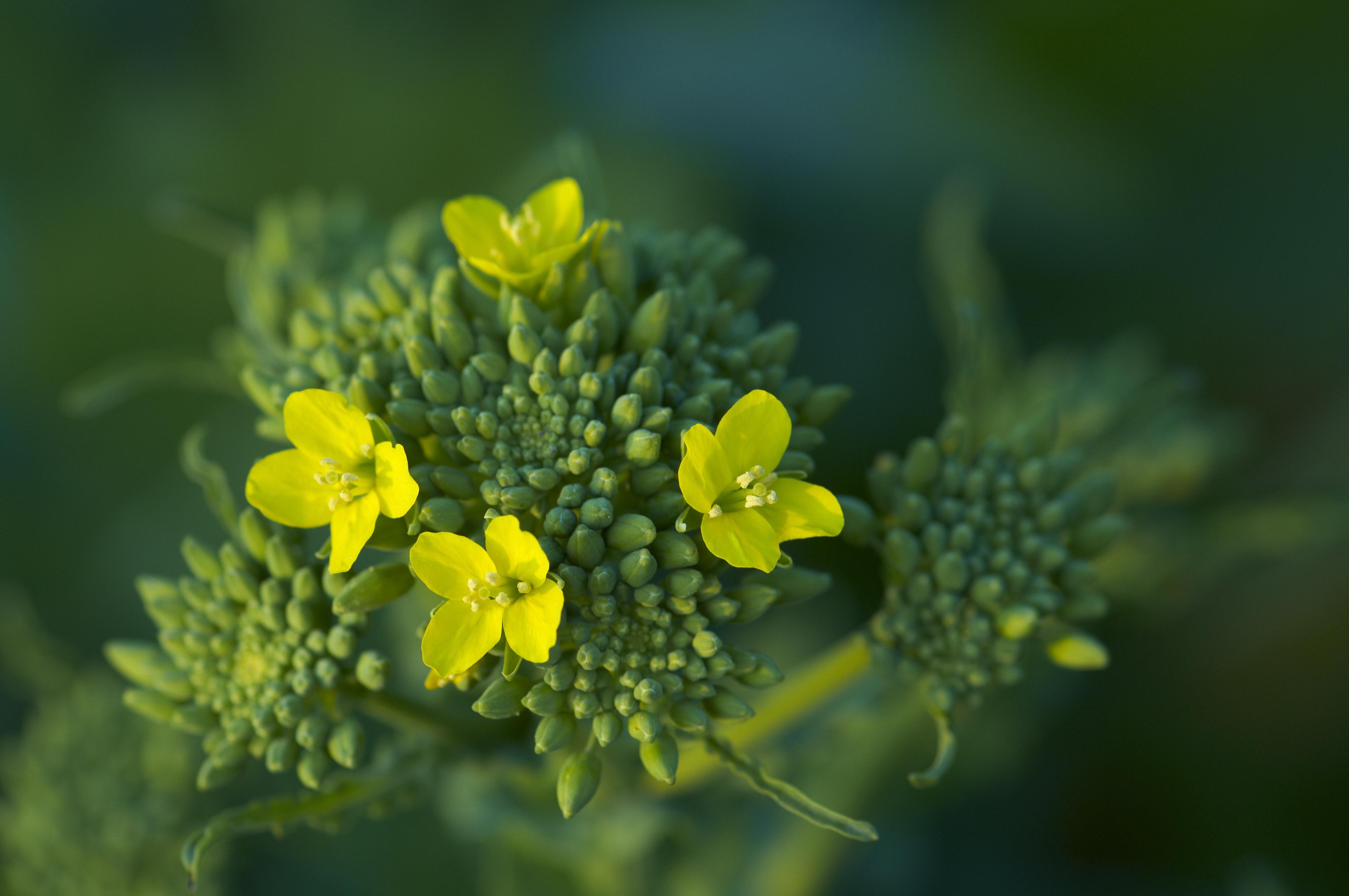 Podzimní hnojení řepky ozimé  image