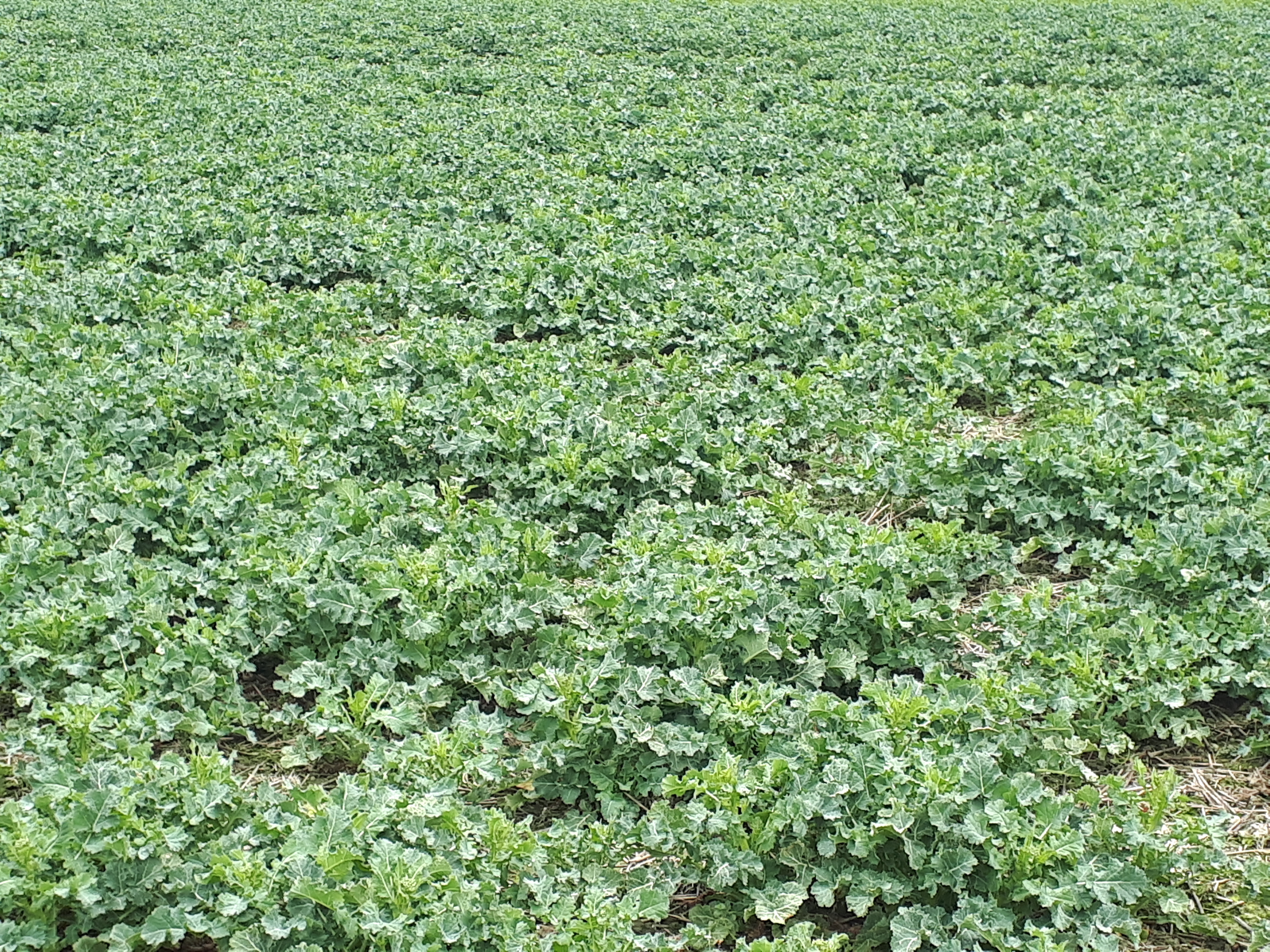 Rape - a crop with high nitrogen demand after wintering image