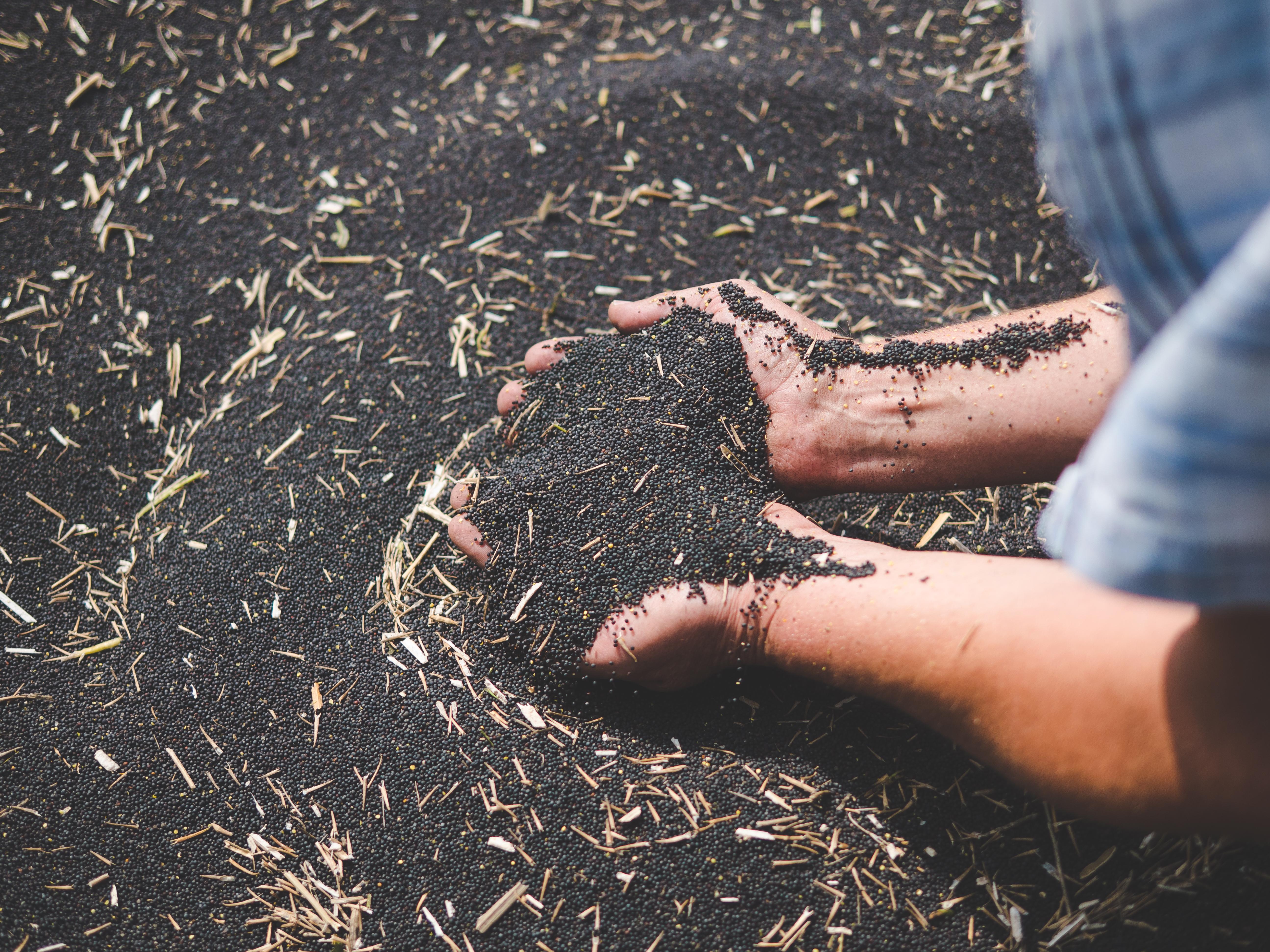 Oilseed rape_Romania_2020 image