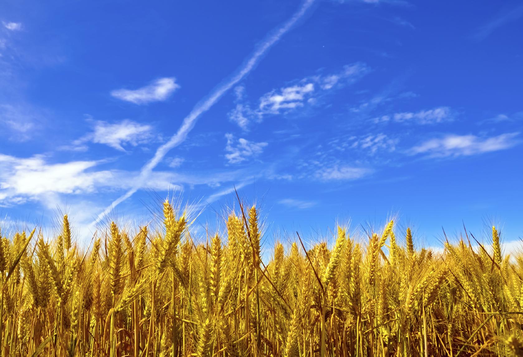 Good wheat yield? Basic fertilization with NPK! image