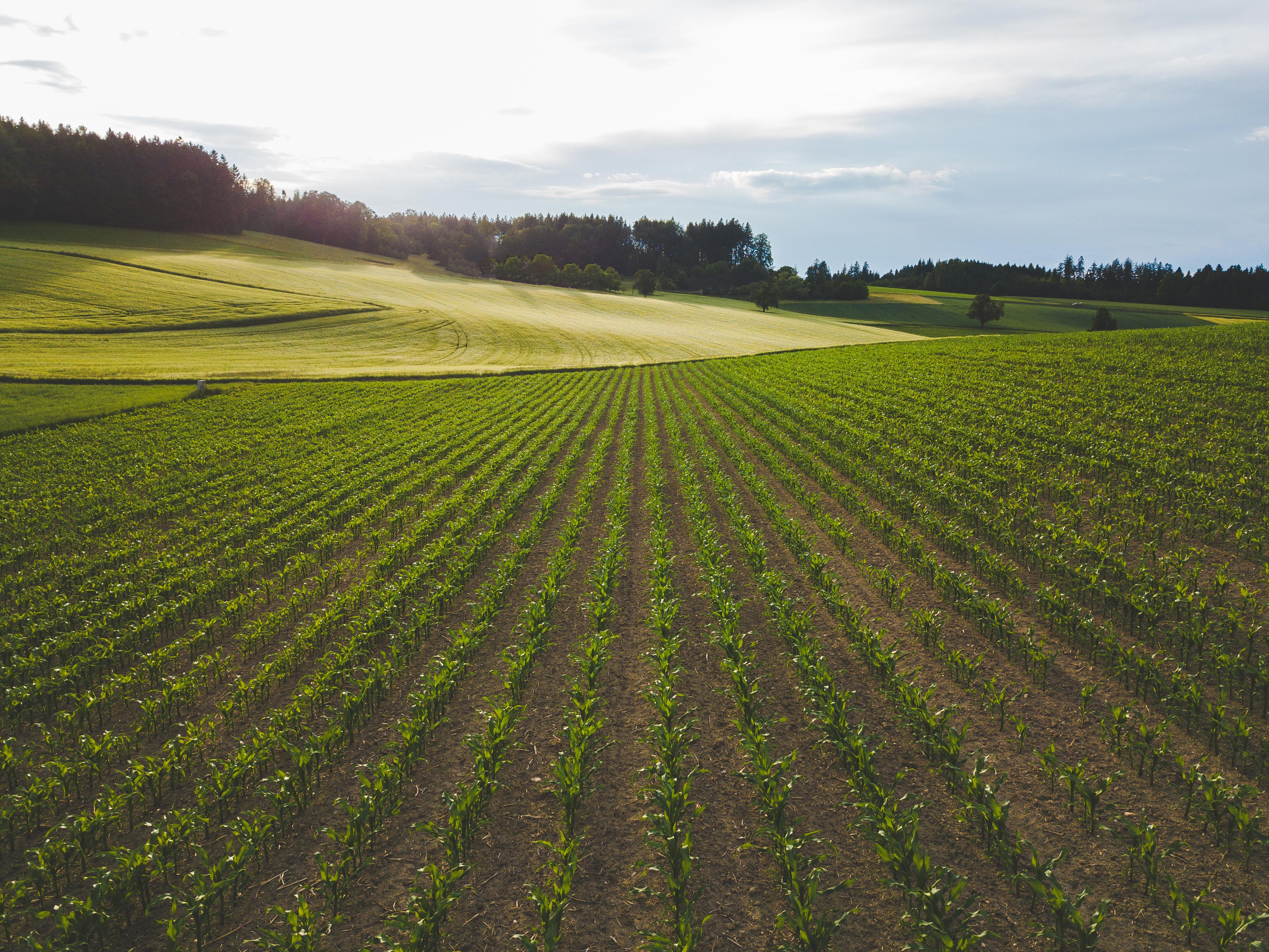Балансираното торене на царевицата е предпоставка за високи добиви image