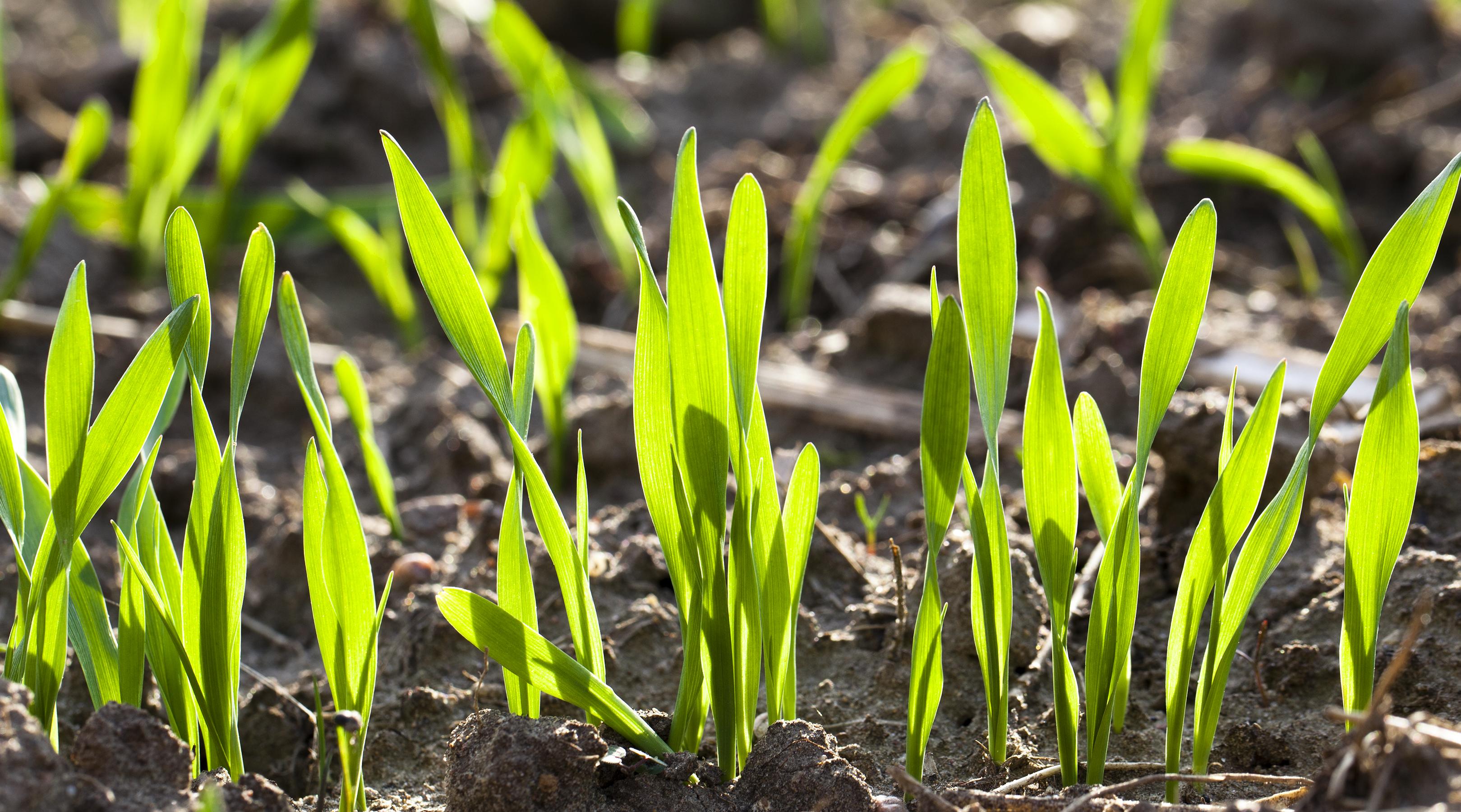 Erste N-Düngung zu Vegetationsbeginn image