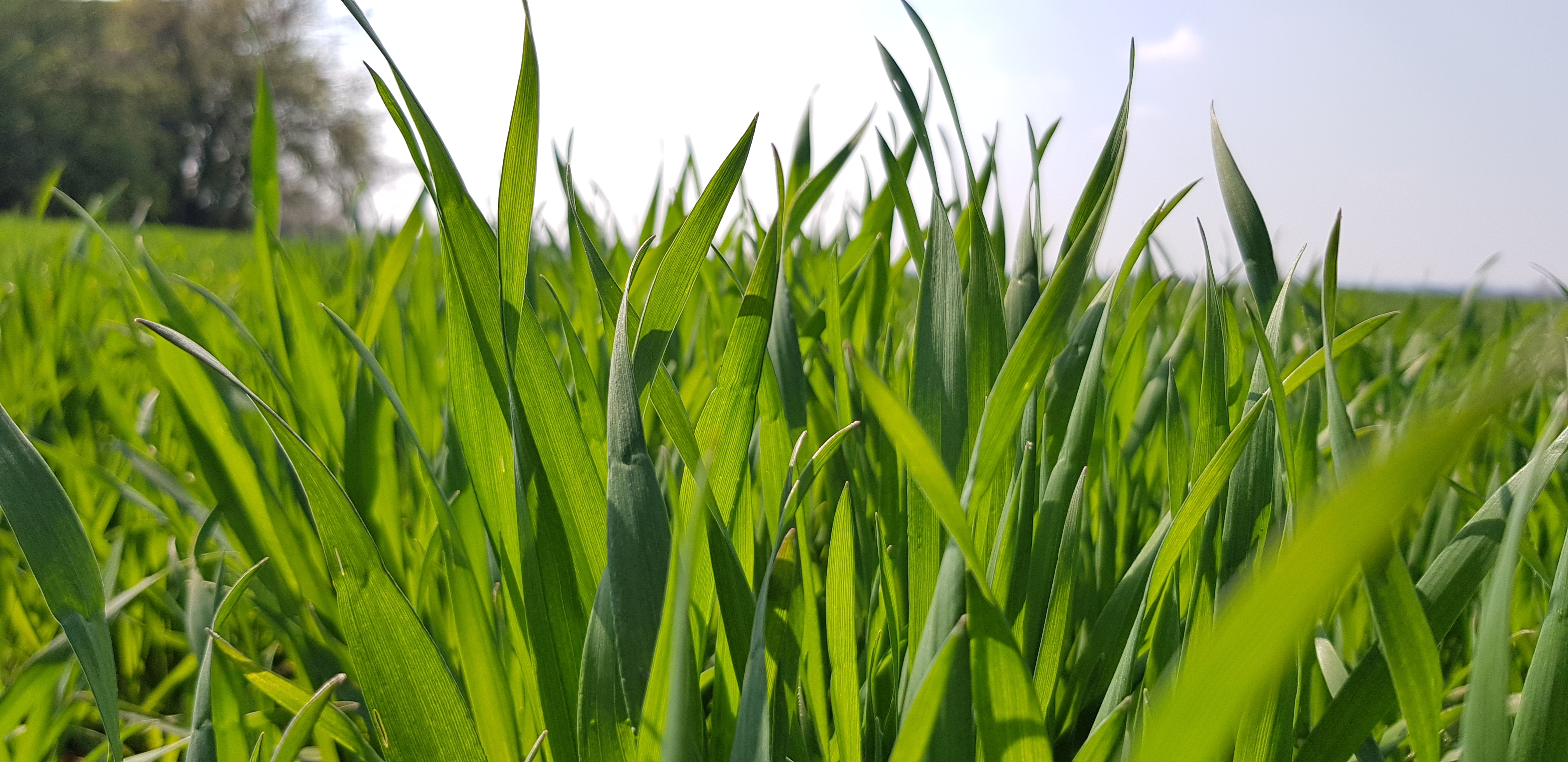 Wheat: it is time to supply further nitrogen amounts image