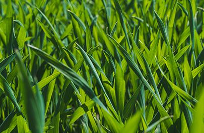 Weizen jetzt mit Nitratstickstoff versorgen image