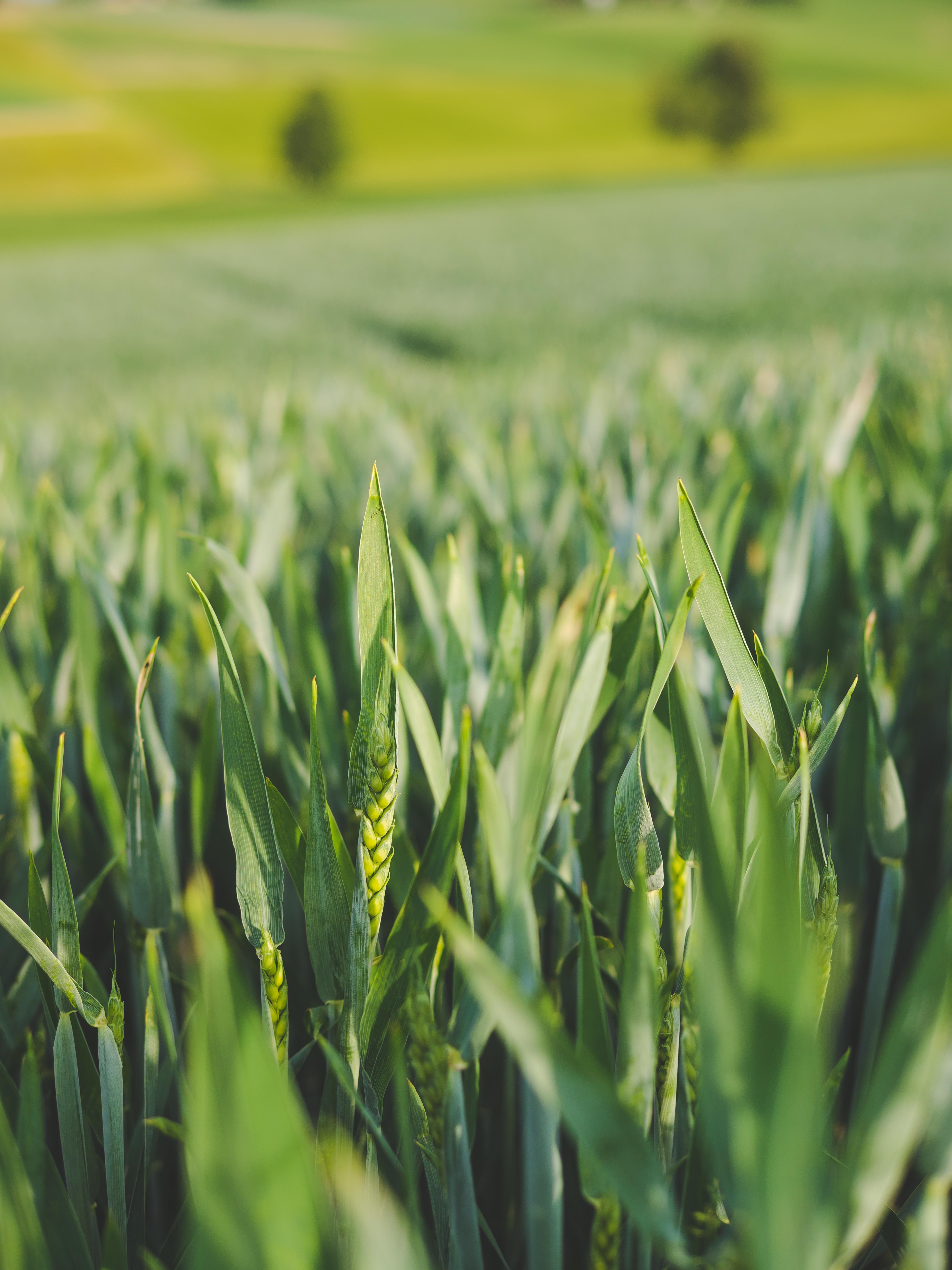 Schwefel zur Spätdüngung erhöht Ertrag und Proteingehalt image